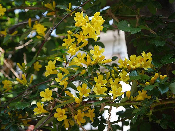 カロライナジャスミンの花がかなり増えて来た。2020年-8.jpg