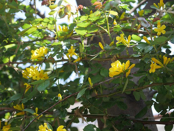 カロライナジャスミンの花がかなり増えて来た。2020年-9.jpg