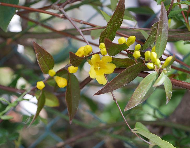 カロライナジャスミンの花がすこしずつ増えて来た。2020年-1.jpg