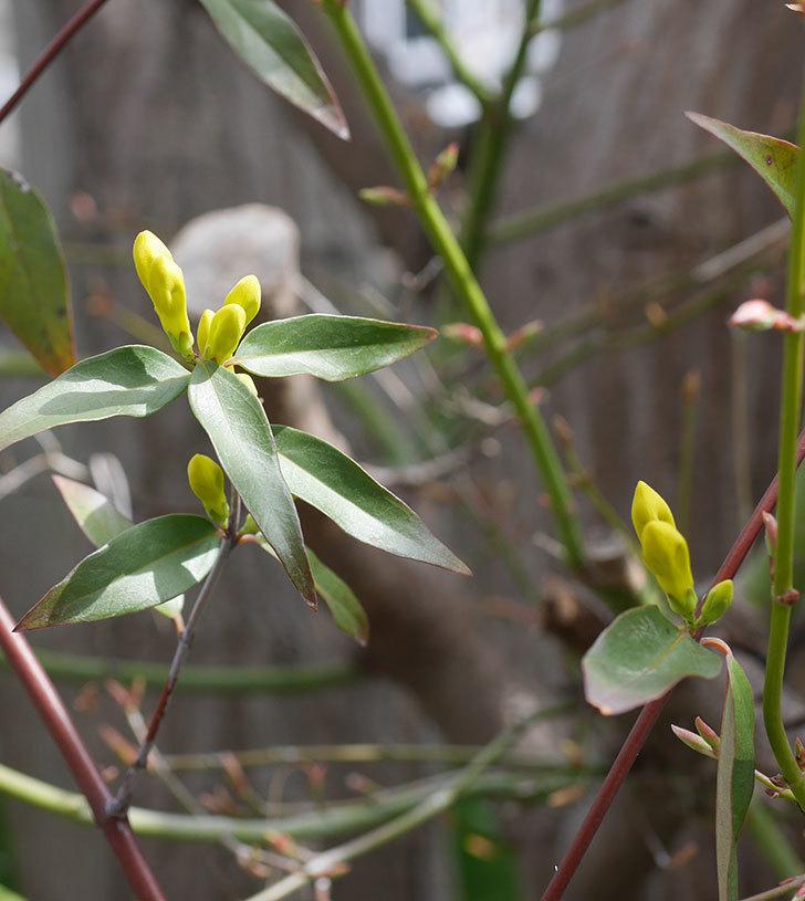カロライナジャスミンの花がすこしずつ増えて来た。2020年-3.jpg