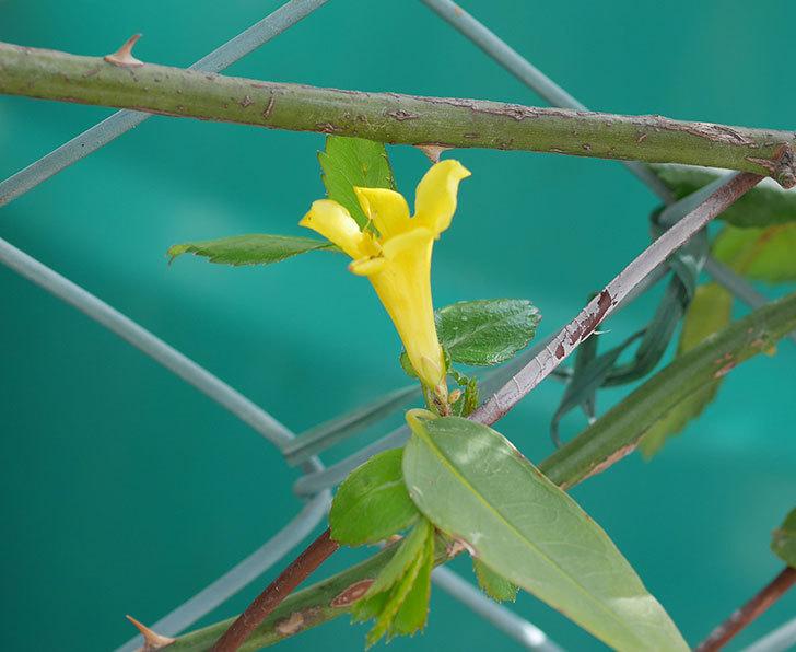 カロライナジャスミンの花がすこしずつ増えて来た。2020年-4.jpg