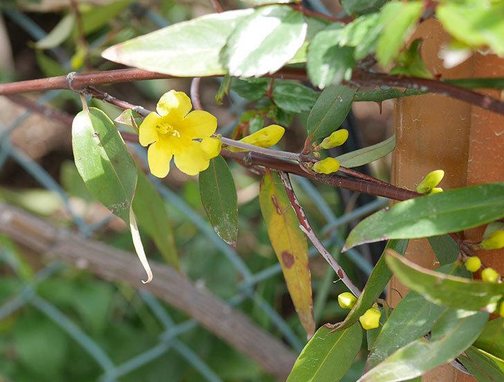 カロライナジャスミンの花がすこしずつ増えて来た。2020年-5.jpg