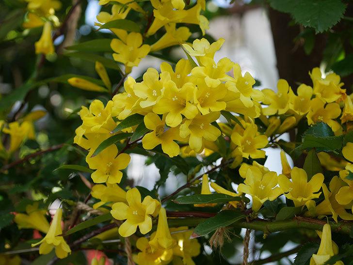 カロライナジャスミンの花がたくさん咲いた。2020年-1.jpg