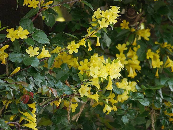 カロライナジャスミンの花がたくさん咲いた。2020年-10.jpg