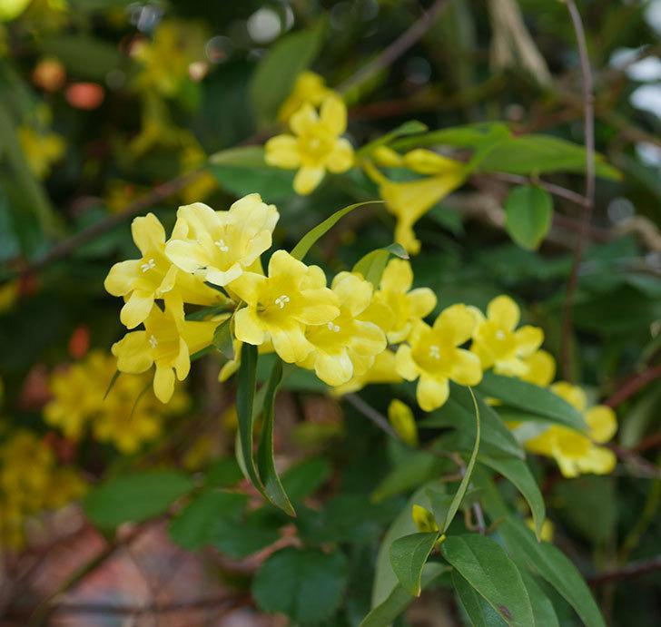 カロライナジャスミンの花がたくさん咲いた。2020年-3.jpg