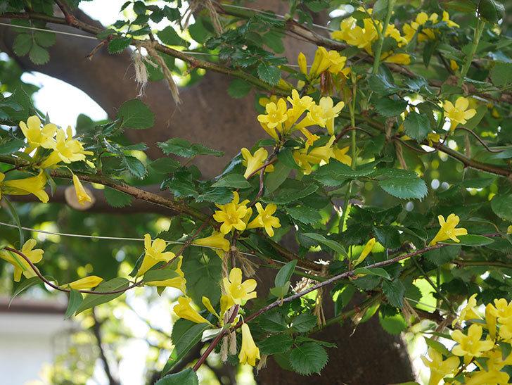 カロライナジャスミンの花がたくさん咲いた。2020年-4.jpg