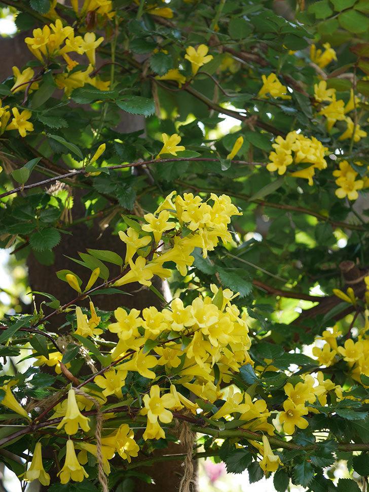 カロライナジャスミンの花がたくさん咲いた。2020年-5.jpg