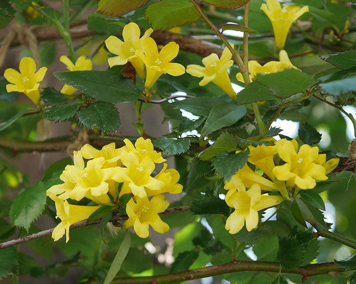 カロライナジャスミンの花がたくさん咲いた。2020年-6.jpg