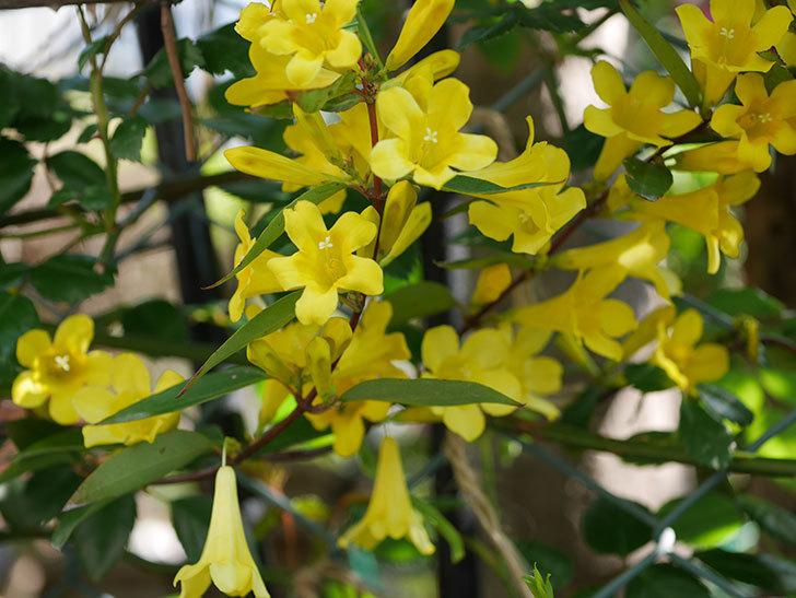 カロライナジャスミンの花がたくさん咲いた。2020年-7.jpg