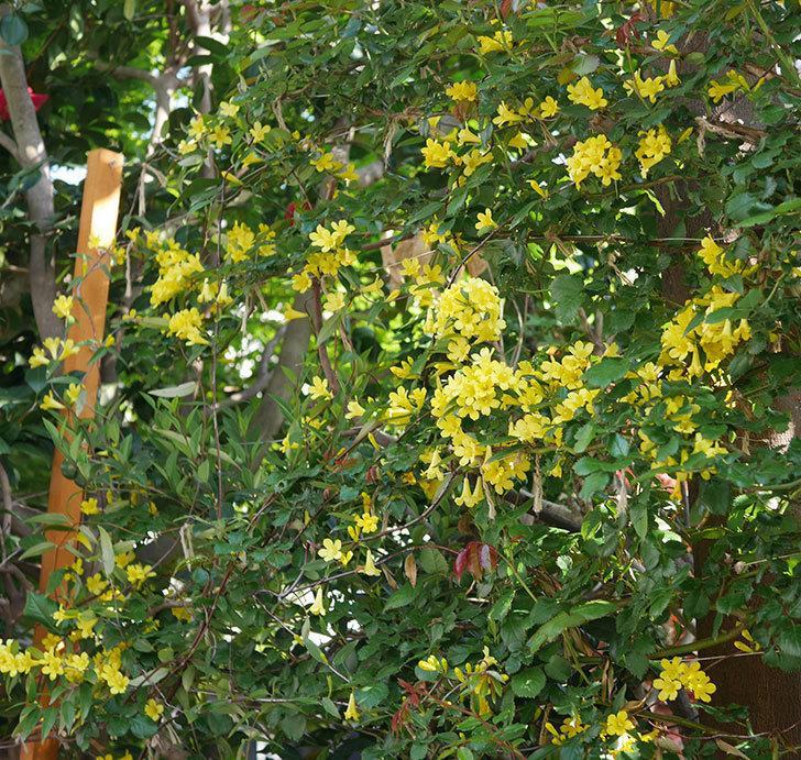 カロライナジャスミンの花がたくさん咲いた。2020年-8.jpg