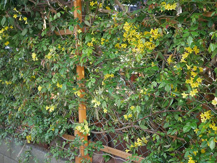 カロライナジャスミンの花がたくさん咲いた。2020年-9.jpg