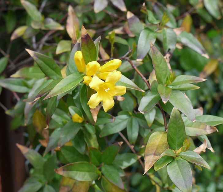 カロライナジャスミンの花が咲いた。2017年-1.jpg