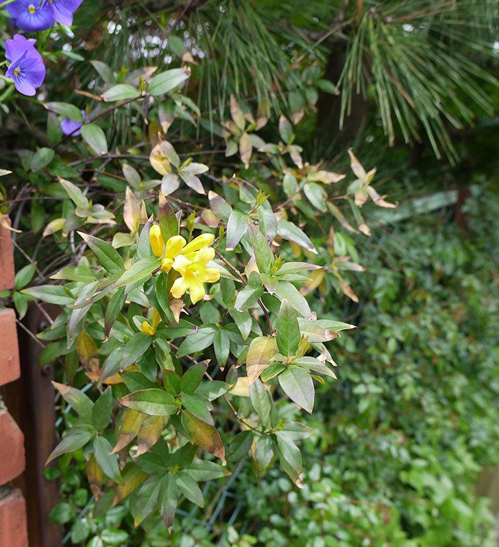 カロライナジャスミンの花が咲いた。2017年-2.jpg