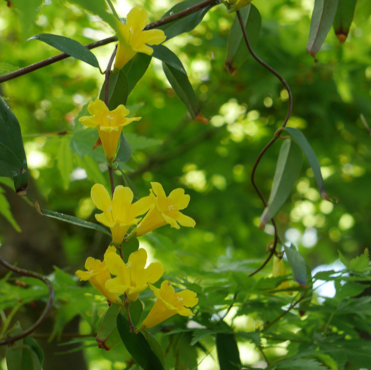 カロライナジャスミンの花が咲いた。2019年-1.jpg