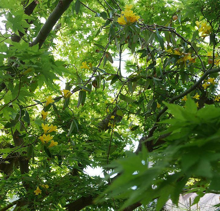 カロライナジャスミンの花が咲いた。2019年-10.jpg