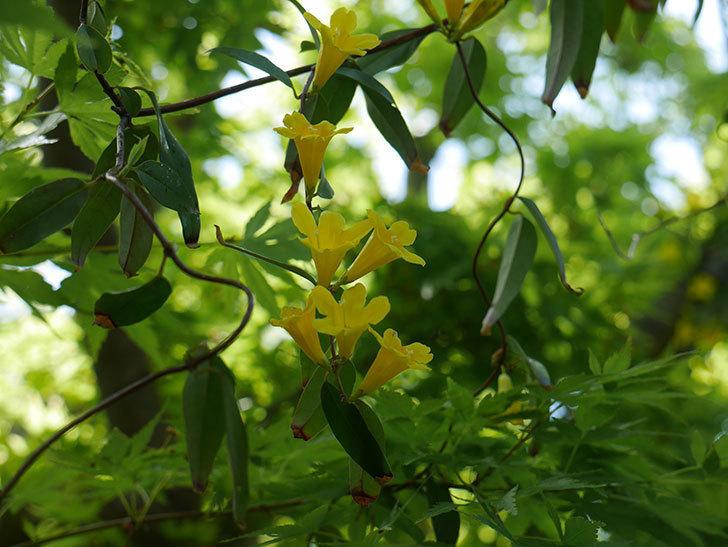 カロライナジャスミンの花が咲いた。2019年-11.jpg