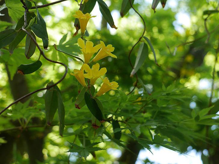 カロライナジャスミンの花が咲いた。2019年-13.jpg