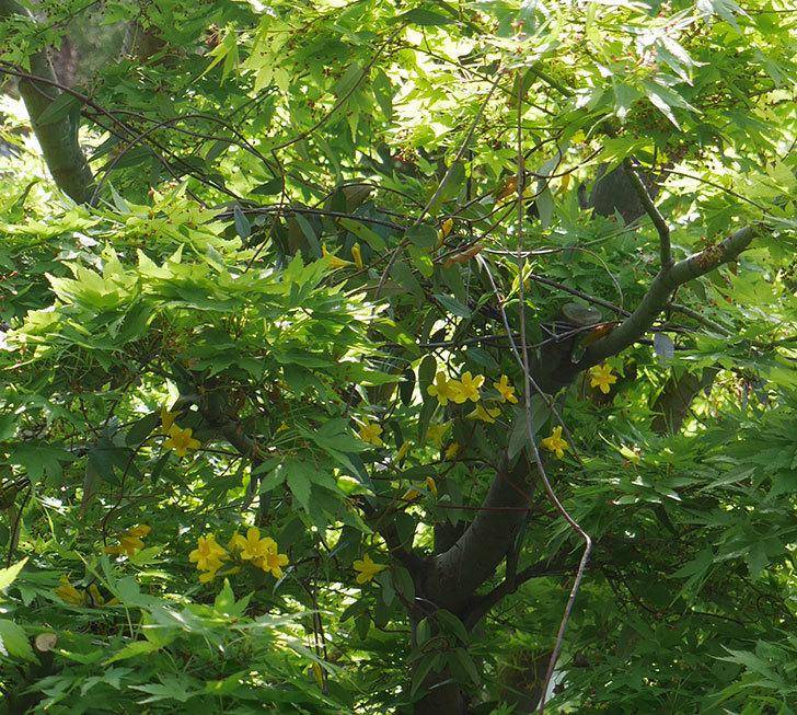 カロライナジャスミンの花が咲いた。2019年-2.jpg