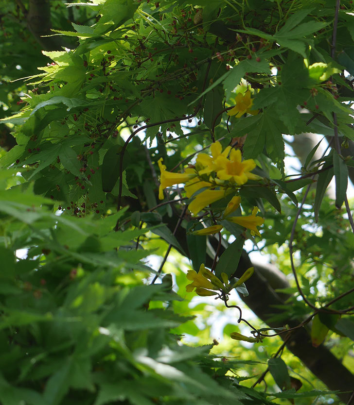 カロライナジャスミンの花が咲いた。2019年-5.jpg
