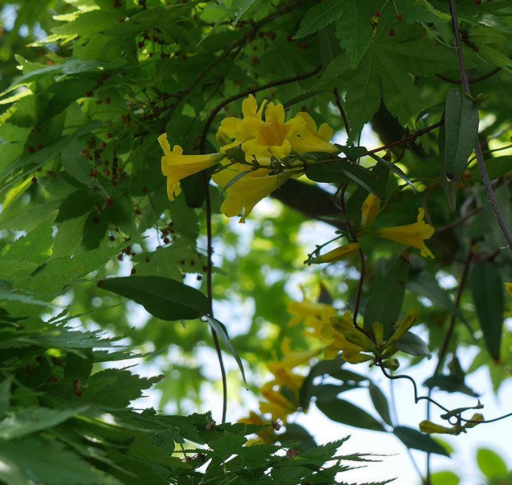 カロライナジャスミンの花が咲いた。2019年-6.jpg