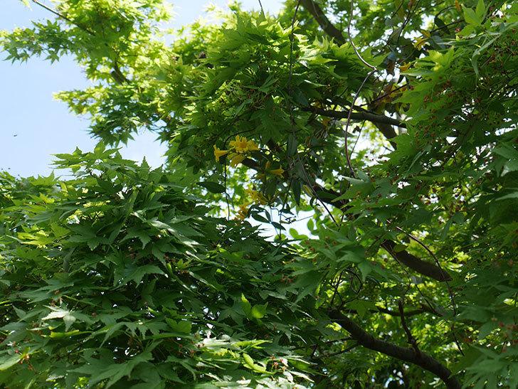 カロライナジャスミンの花が咲いた。2019年-7.jpg