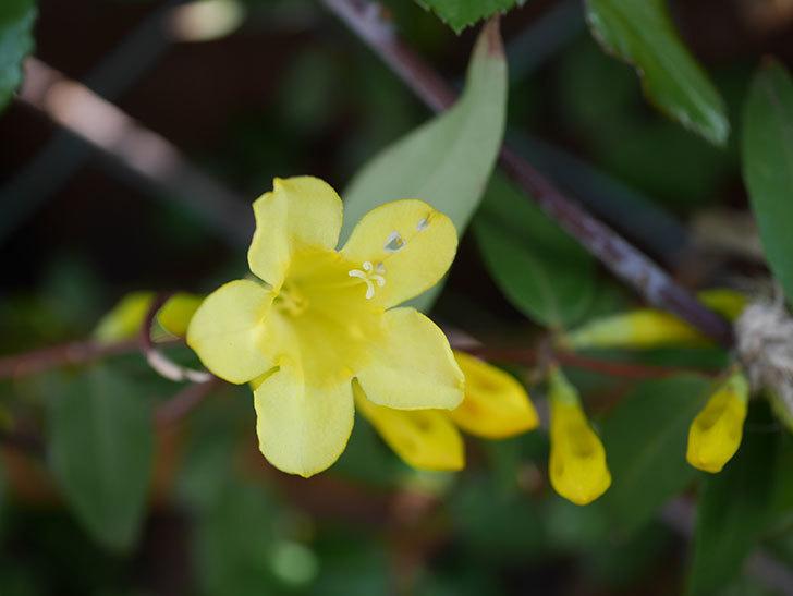 カロライナジャスミンの花が咲いた。2021年-001.jpg