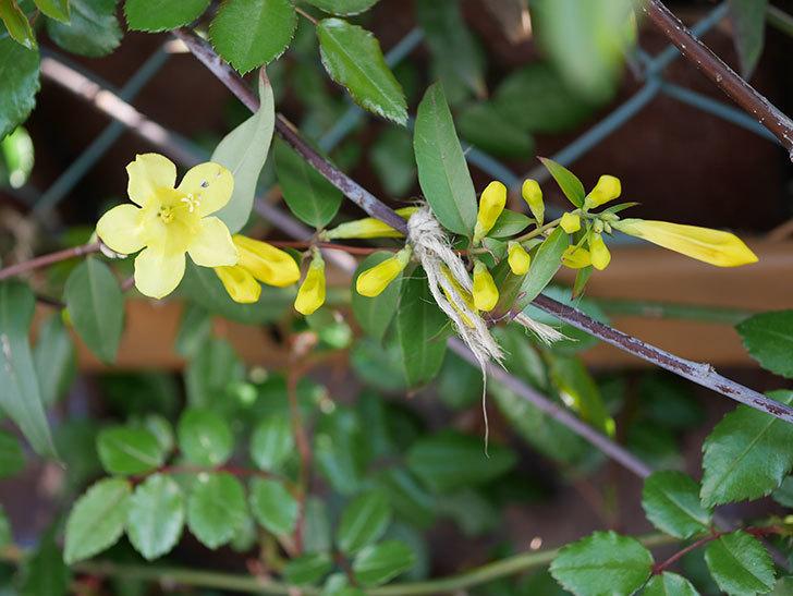 カロライナジャスミンの花が咲いた。2021年-002.jpg