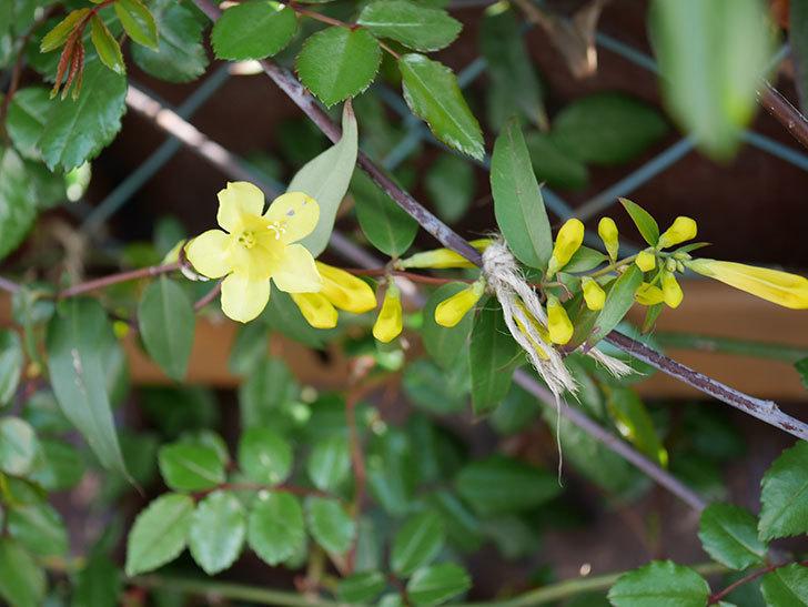 カロライナジャスミンの花が咲いた。2021年-003.jpg