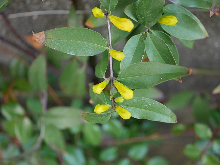 カロライナジャスミンの花が咲いた。2021年-004.jpg