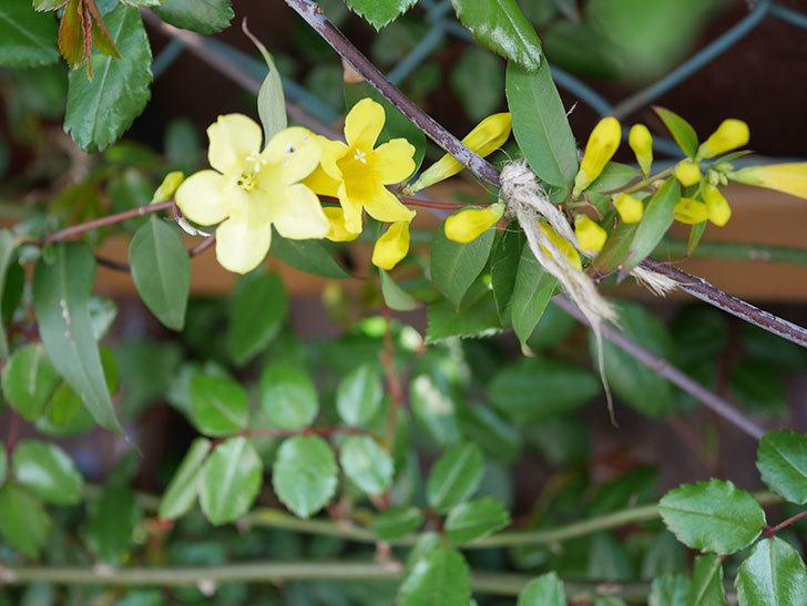 カロライナジャスミンの花が咲いた。2021年-005.jpg