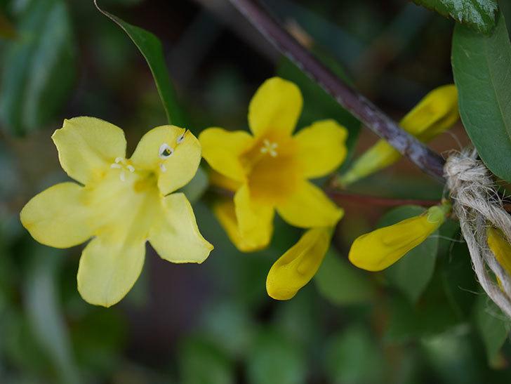 カロライナジャスミンの花が咲いた。2021年-006.jpg
