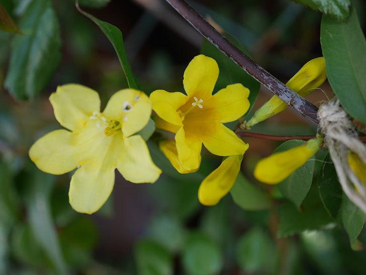 カロライナジャスミンの花が咲いた。2021年-007.jpg