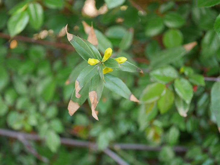 カロライナジャスミンの花が咲いた。2021年-008.jpg