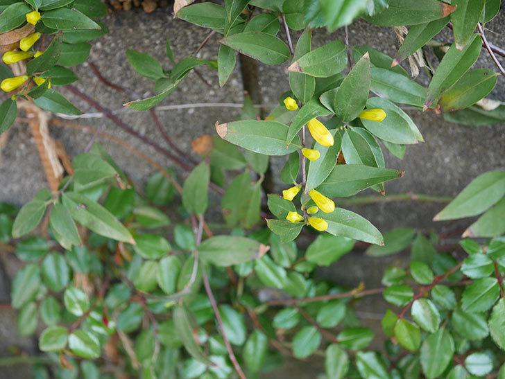 カロライナジャスミンの花が咲いた。2021年-009.jpg