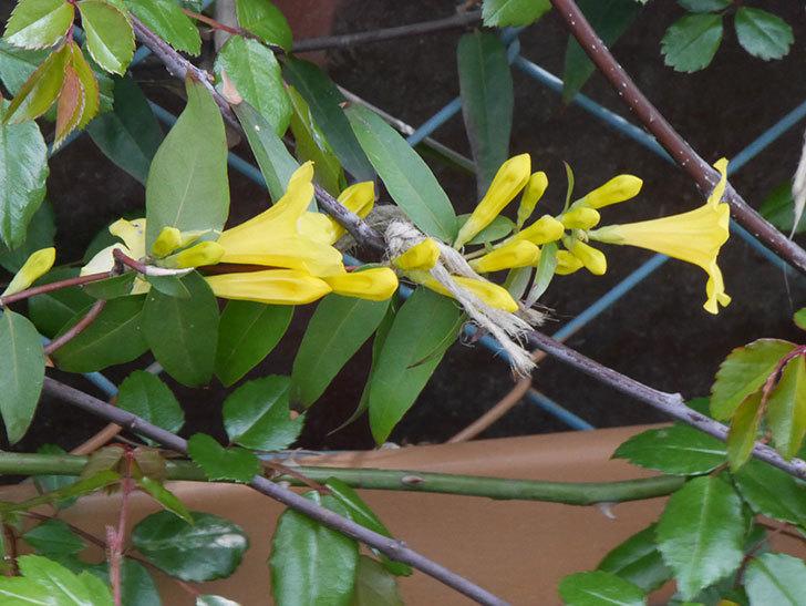 カロライナジャスミンの花が咲いた。2021年-011.jpg