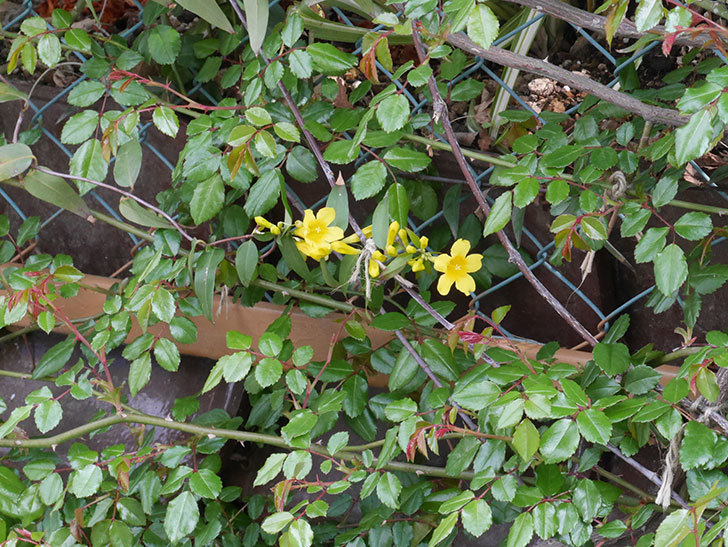 カロライナジャスミンの花が咲いた。2021年-012.jpg