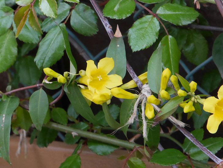 カロライナジャスミンの花が咲いた。2021年-013.jpg