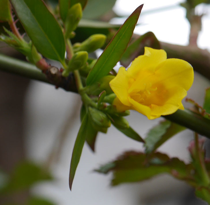 カロライナジャスミンの花が咲きだした。2020年-1.jpg