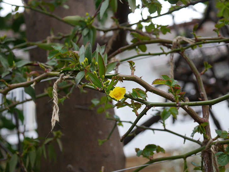 カロライナジャスミンの花が咲きだした。2020年-3.jpg