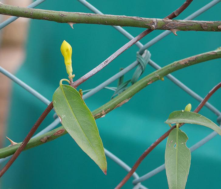 カロライナジャスミンの花が咲きだした。2020年-4.jpg
