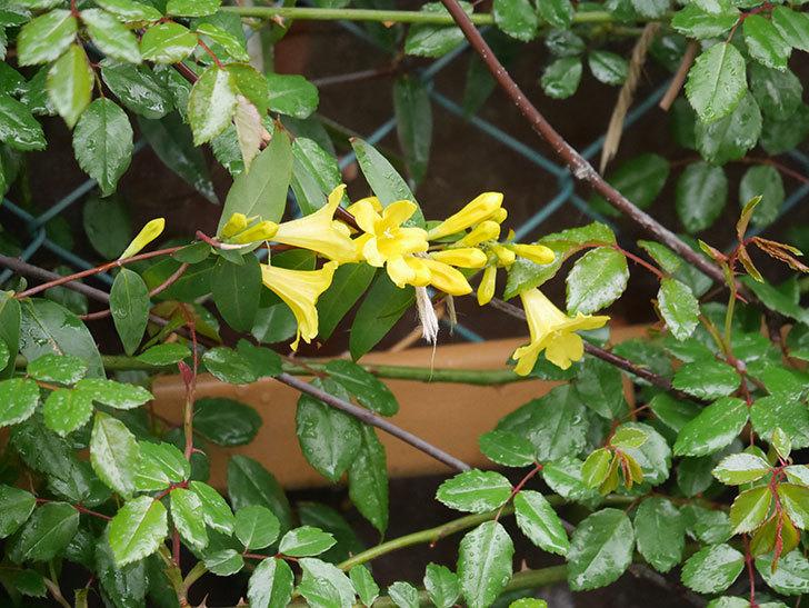 カロライナジャスミンの花が増えてきた。2021年-001.jpg