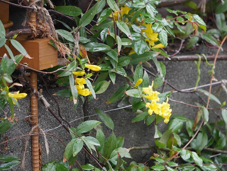 カロライナジャスミンの花が増えてきた。2021年-002.jpg