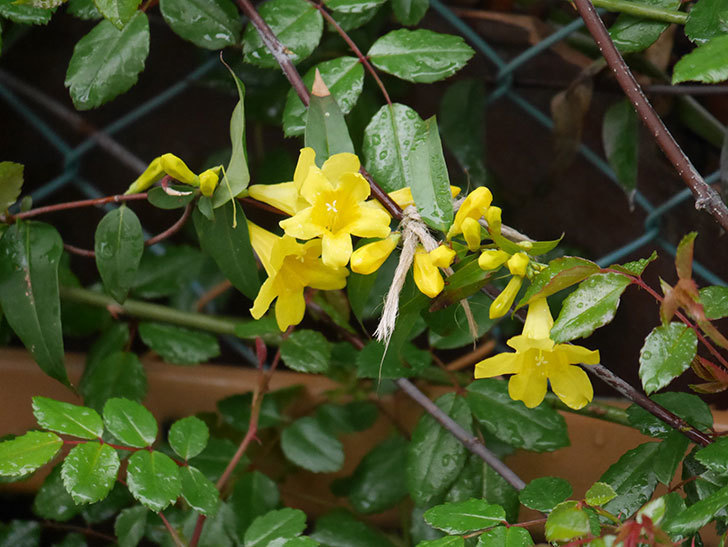 カロライナジャスミンの花が増えてきた。2021年-004.jpg