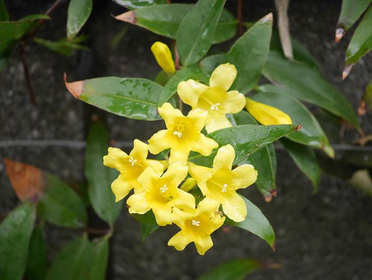 カロライナジャスミンの花が増えてきた。2021年-005.jpg
