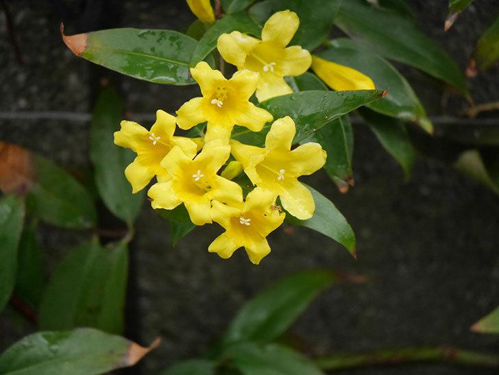 カロライナジャスミンの花が増えてきた。2021年-006.jpg