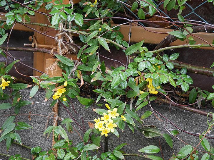 カロライナジャスミンの花が増えてきた。2021年-008.jpg