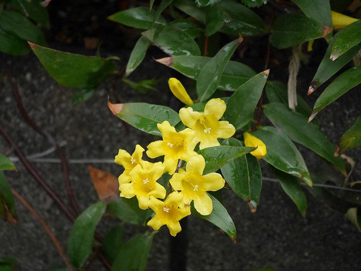 カロライナジャスミンの花が増えてきた。2021年-010.jpg