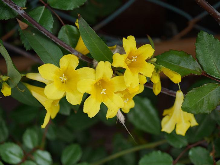 カロライナジャスミンの花が増えてきた。2021年-011.jpg