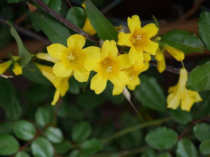 カロライナジャスミンの花が増えてきた。2021年-012.jpg