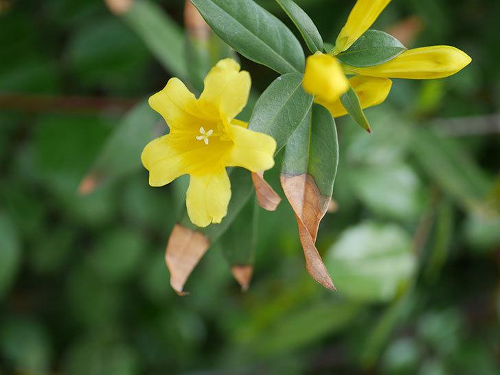 カロライナジャスミンの花が増えてきた。2021年-013.jpg